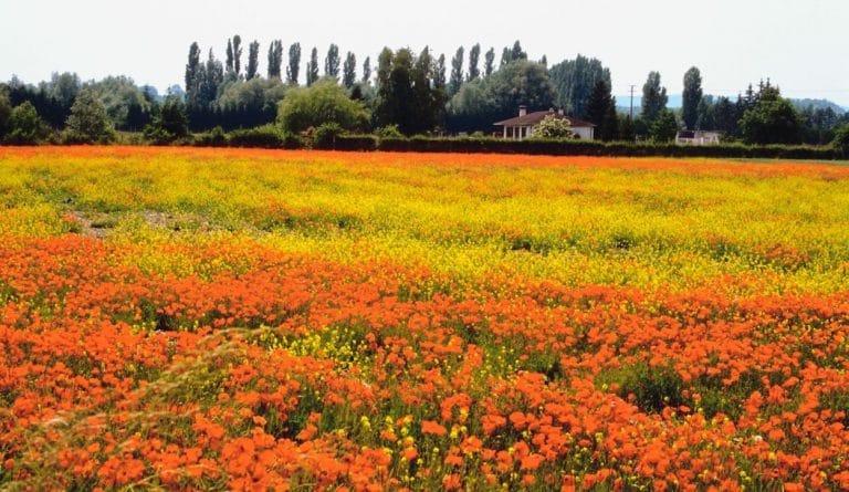 champ de fleurs au printemps