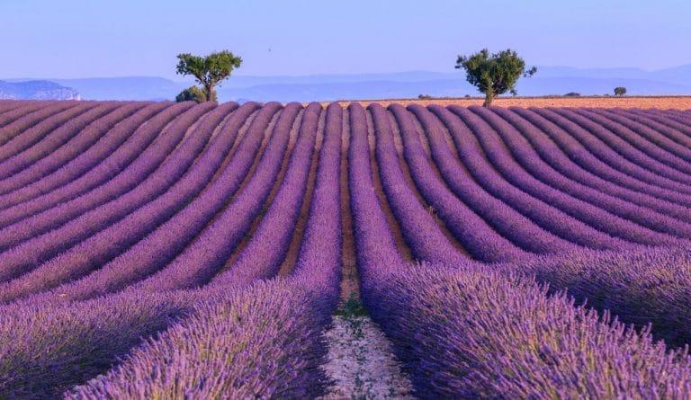 lavendar field summer season in provence
